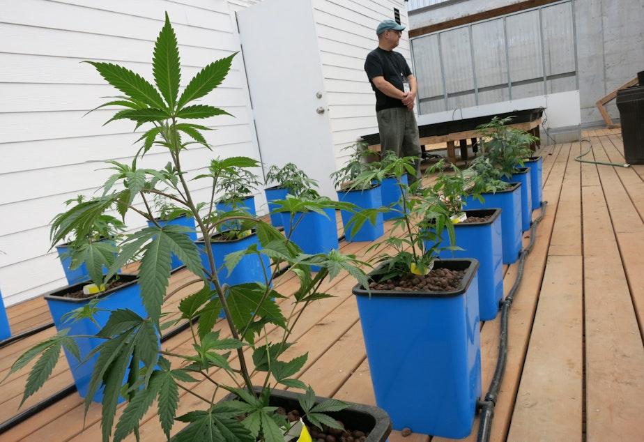 Marijuana plants growing at Seattle's first legal pot farm, Sea of Green.