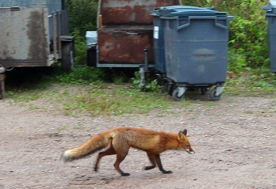 caption: Foxes, along with bobcats and even cougars, are closer than you might think.