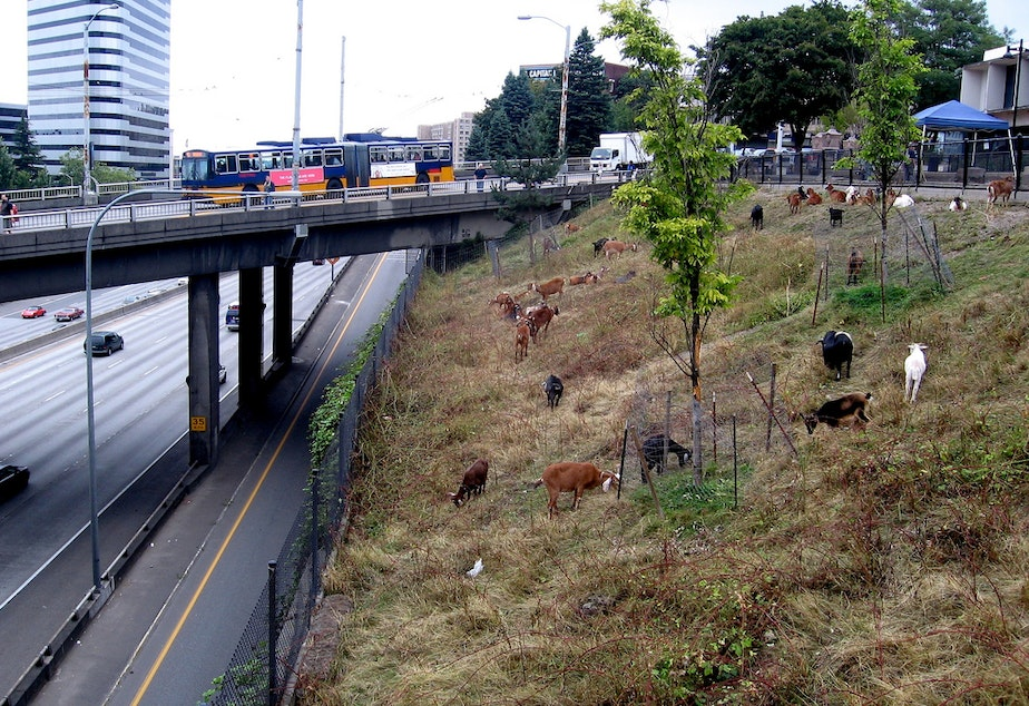 caption: Goats graze near Interstate 5 in Seattle.
