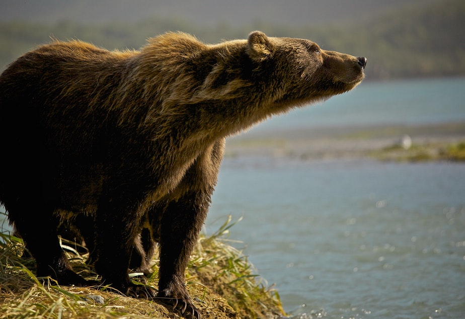 caption: North American grizzly bear