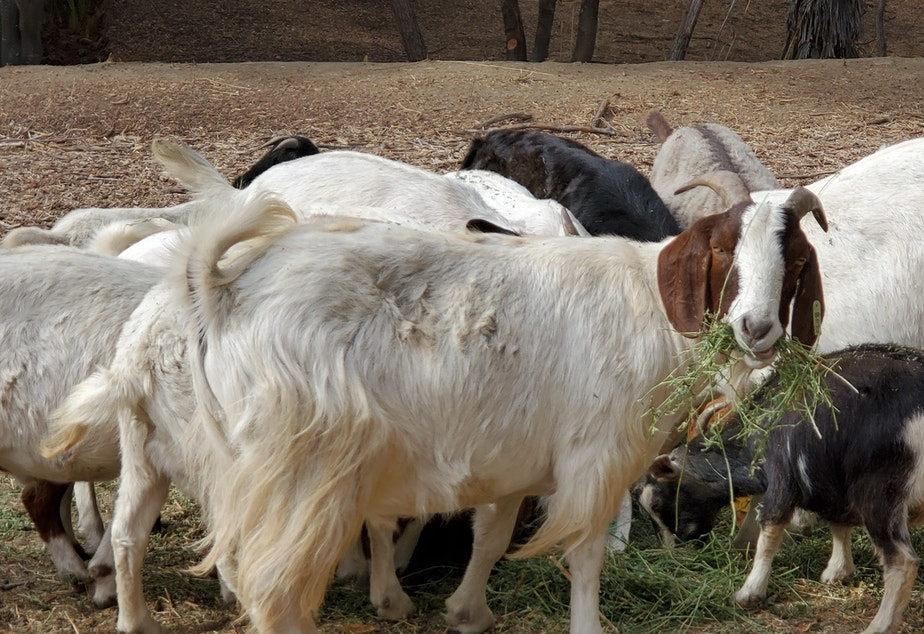 caption: A herd of goats spent the fall in and around Anaheim, Calif.'s Deer Canyon Park helping to keep grasses and other potential wildfire fuels in check.