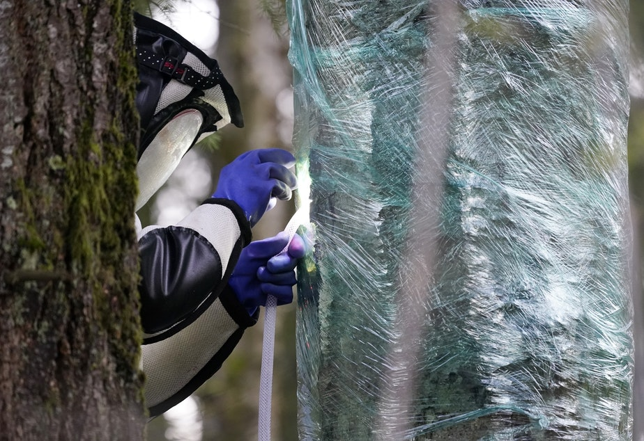 caption: Wearing a protective suit, Washington State Department of Agriculture entomologist Chris Looney fills a tree cavity with carbon dioxide after vacuuming a nest of Asian giant hornets from inside it Saturday, Oct. 24, 2020, in Blaine, Wash. Scientists in Washington state discovered the first nest earlier in the week of so-called murder hornets in the United States and worked to wipe it out Saturday morning to protect native honeybees.