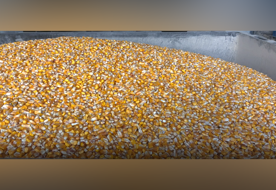 caption: This corn was donated to Woodinville Whiskey Company as it starts making hand sanitizer on Monday, March 23, 2020.