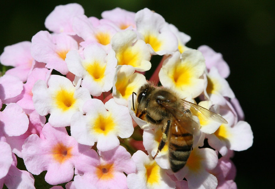 caption: File: Honey bee
