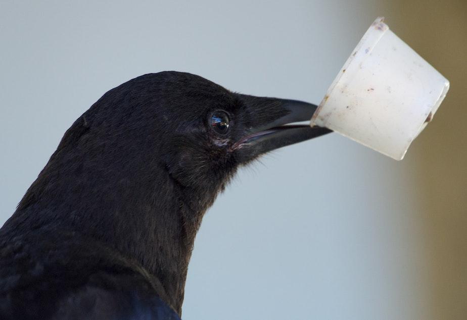 caption: Crows and recycling are two common topics listeners ask KUOW about.