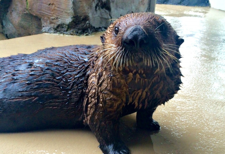 Mishka the asthmatic otter is doing fine despite the wildfire smoke, the Seattle Aquarium tweeted last week.