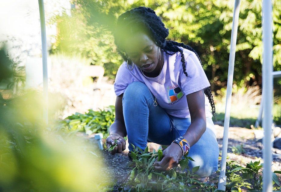 caption: Nyema Clark, urban farmer and founder of Nurturing Roots,  harvests shishito peppers on Sunday, September 27, 2020, at Nurturing Roots in the Beacon Hill neighborhood of Seattle.