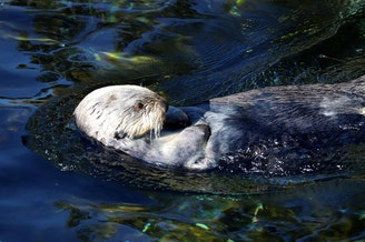 Presently, the only places to see sea otters in Oregon are at the Oregon Zoo and the Oregon Coast Aquarium, where this guy lives.CREDIT: TOM BANSE