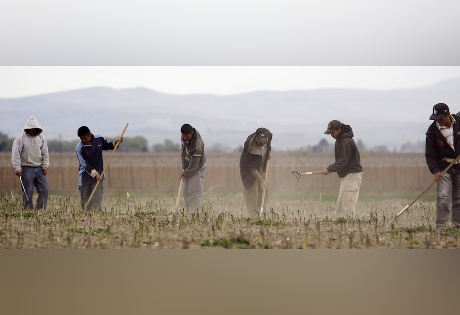 caption: In this photo taken April 27, 2009, Latino workers till an asparagus field near Toppenish, Wash., on the Yakama Indian Reservation.