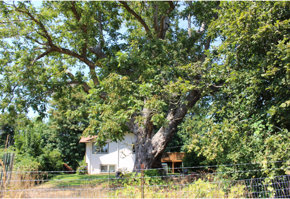 caption: Black pioneer George Bush planted this tree on his Thurston County farm from root stock he brought with him from Missouri on the Oregon Trail. A sapling from this tree is now growing on Washington's Capitol Campus. Soon, a monument to Bush will be placed nearby.