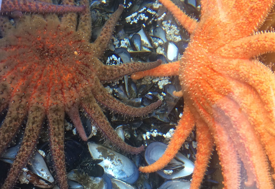 caption: Adult sunflower stars and mussels they feed on in a tank at University of Washington's Friday Harbor Labs.