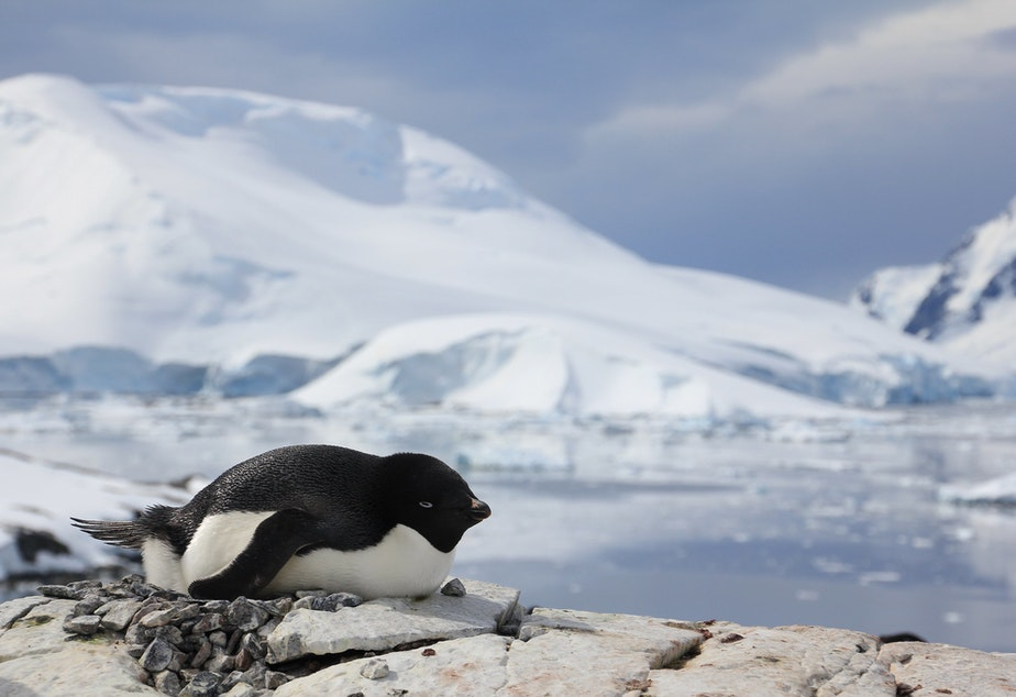 Adelie penguin on Petermann Island, Antarctica