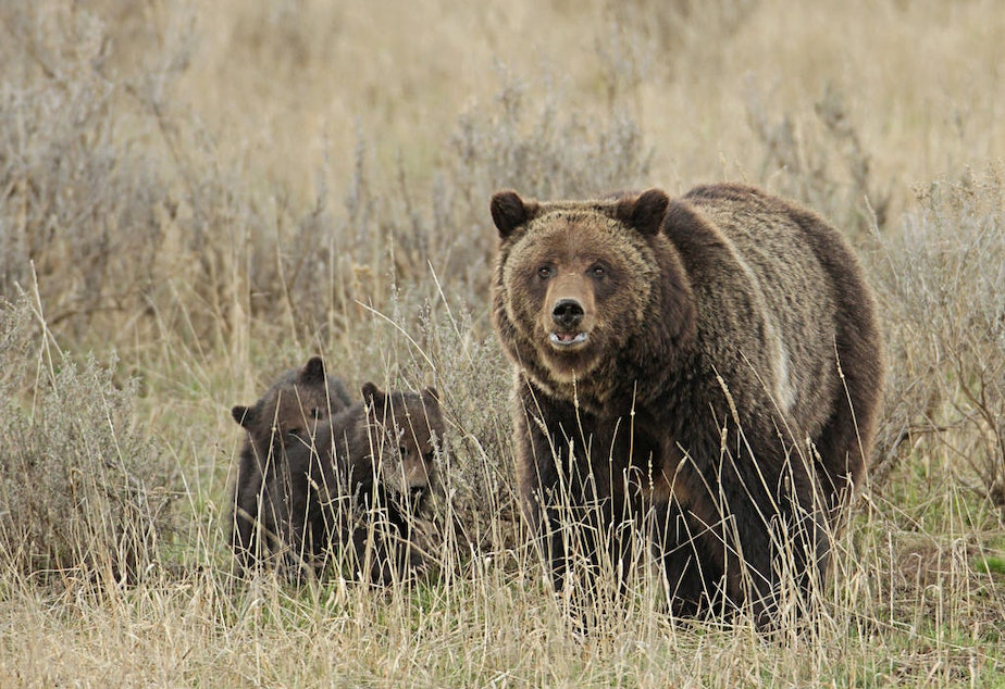 Grizzly sow and cubs near Fishing Bridge, Yellowstone National Park.