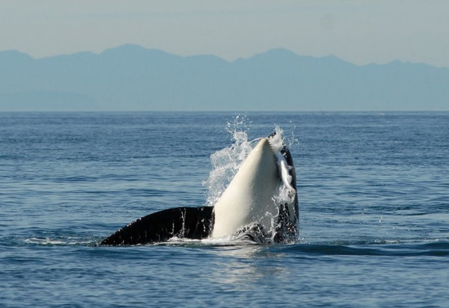 caption: A photo of L84, an orca from the L-pod, with salmon. Three southern resident orcas, which are endangered, are believed to have died this summer.