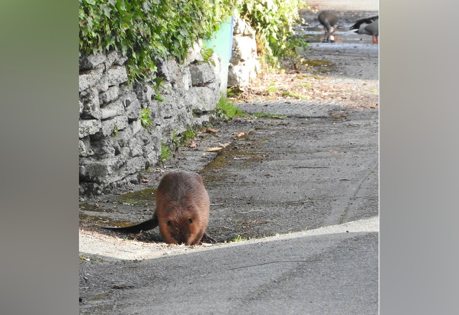 A beaver spotted in Seattle's Ballard neighborhood.
