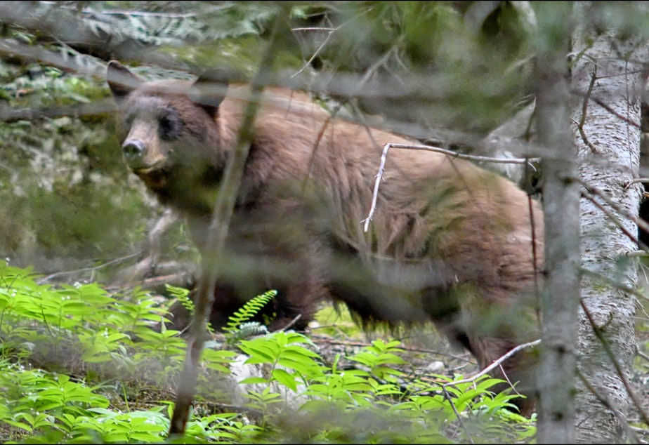 caption: Black bear on the trail west of the old Wellington site near Stevens Pass in 2017.