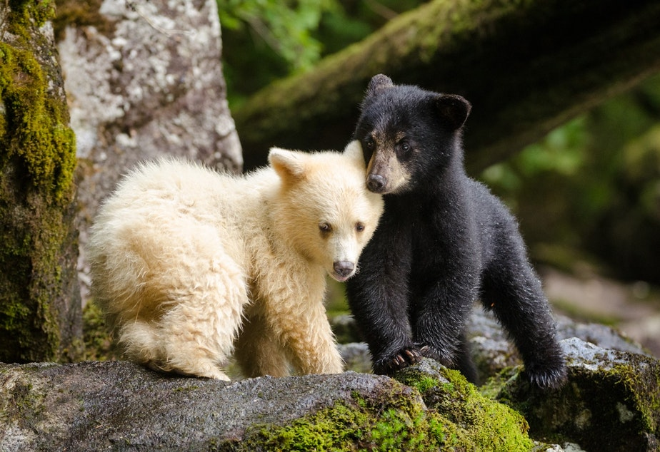 Sibling Spirit Bears huddle together while their mother fishes for salmon. A recessive gene found only in the black bears of British Columbia causes some cubs to be born with white fur.