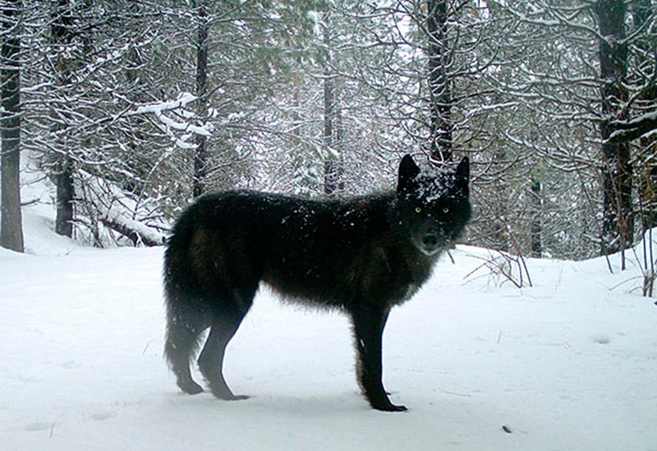 This Feb. 2017, file photo provided by the Oregon Department of Fish and Wildlife shows a gray wolf of the Wenaha Pack captured on a remote camera on U.S. Forest Service land in Oregon's northern Wallowa County. CREDIT: OREGON DEPARTMENT OF FISH AND WILDLIFE/AP