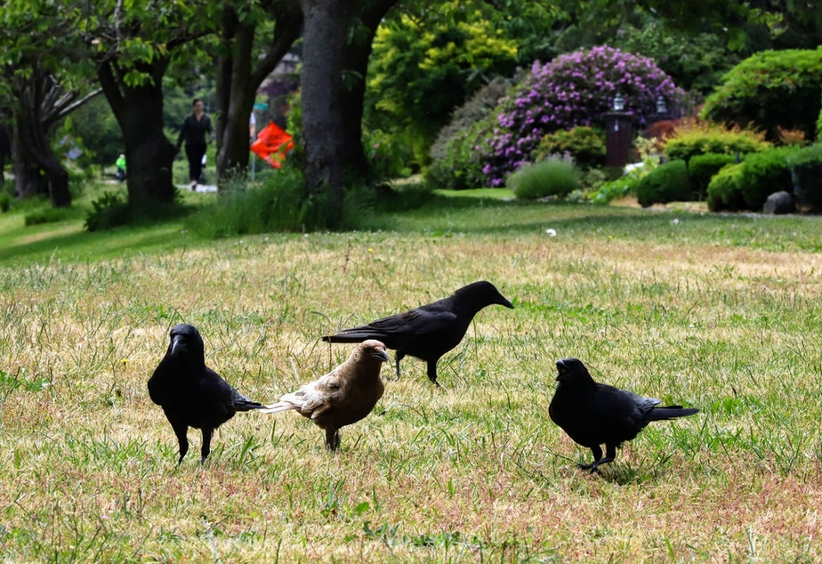 caption: Ferdinand, a Caramel Crow, and neighboring crows on a lawn near Seward park in Seattle. Crows are one of the few animals that can use man-made lawns as a food source.