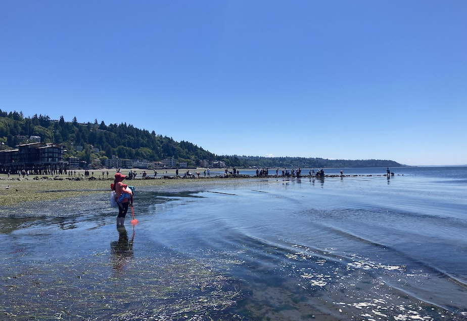 caption: Dozens of people visit Constellation Park during low tide on June 25, 2021. The receded waterline exposed marine life, including a field of kelp and Christmas anemones.