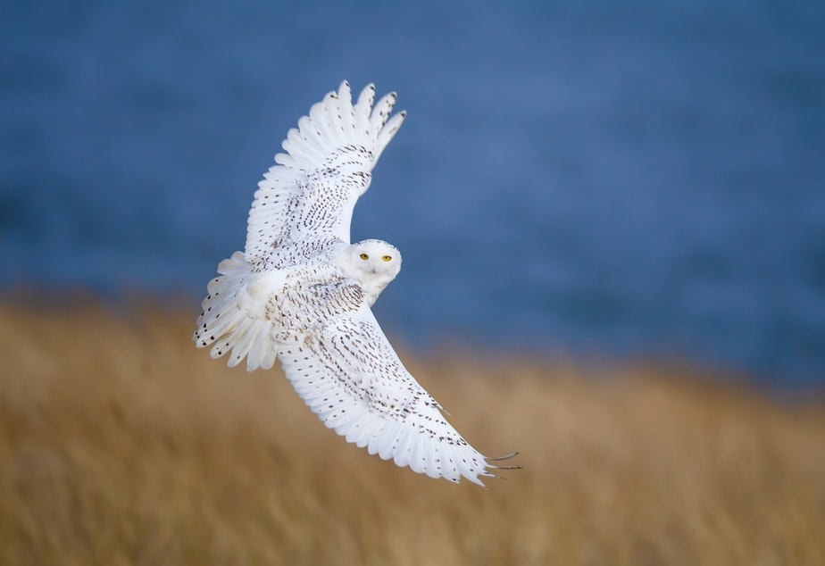 caption: This snowy owl just came by to say hey.