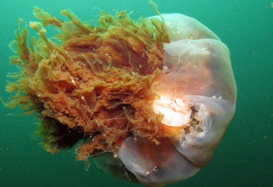 caption: The lion's mane jelly taken by KUOW reporter and diver Ann Dornfeld in 2010.