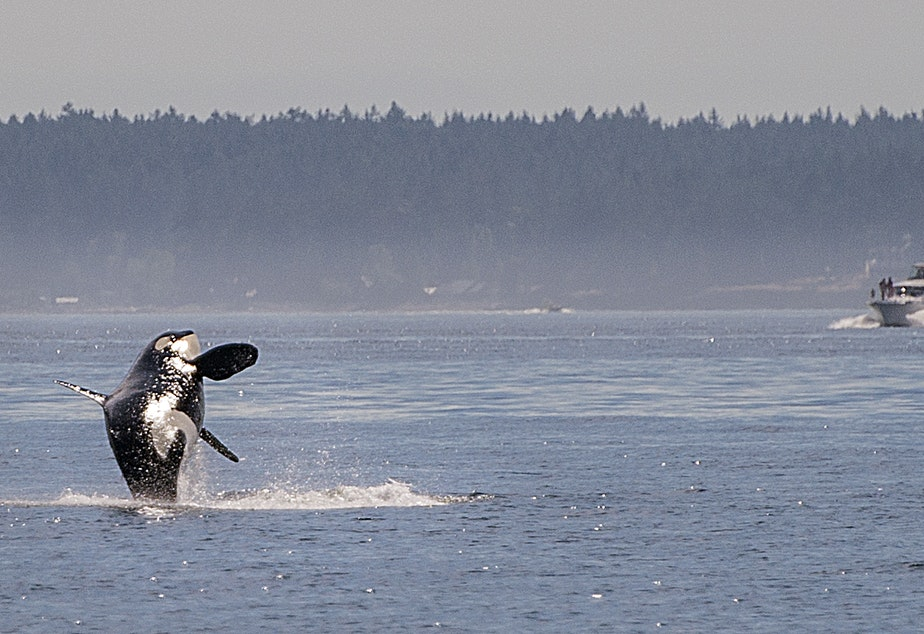 Dan Acosta shot this image of an orca breaching off the San Juans.