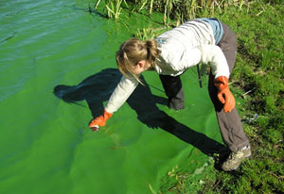 caption: Marisa Burghdoff of Snohomish County tests an algae bloom at Lake Ketchum in the county's northwestern corner.