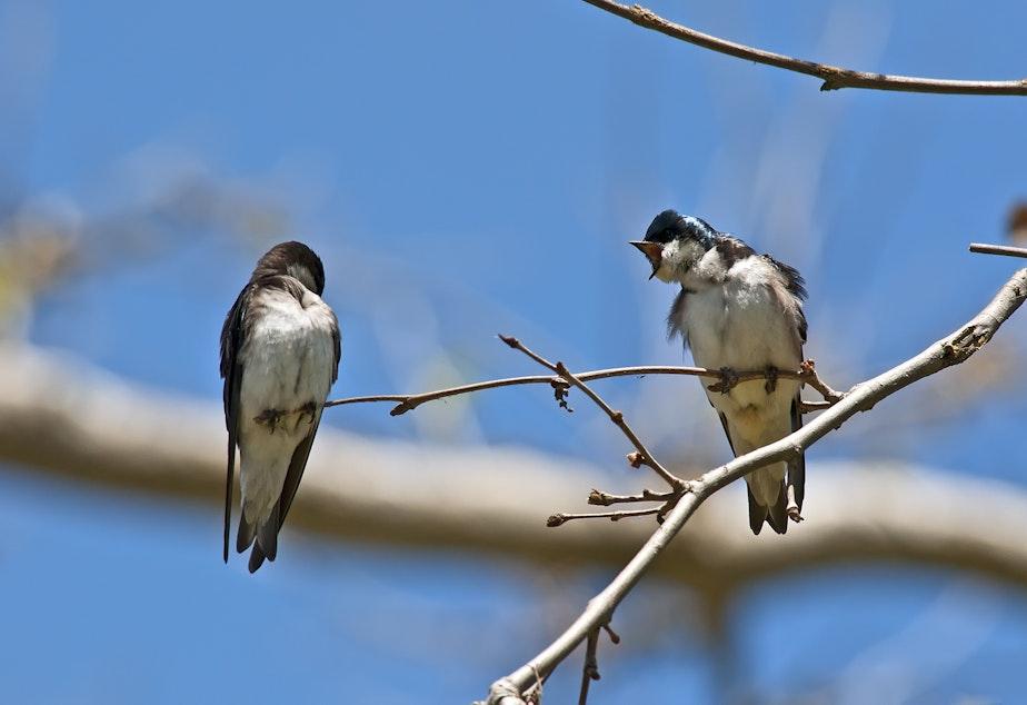 caption: Tree swallows in Atascadero.