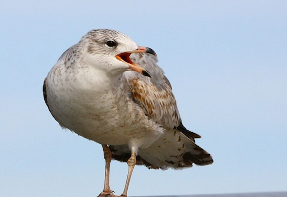 caption: The ring-billed gull. It's one of three types of bird that will be shot if non-lethal hazing fails to stop them from eating juvenile salmon and steelhead at five dams on the Columbia and lower Snake rivers.