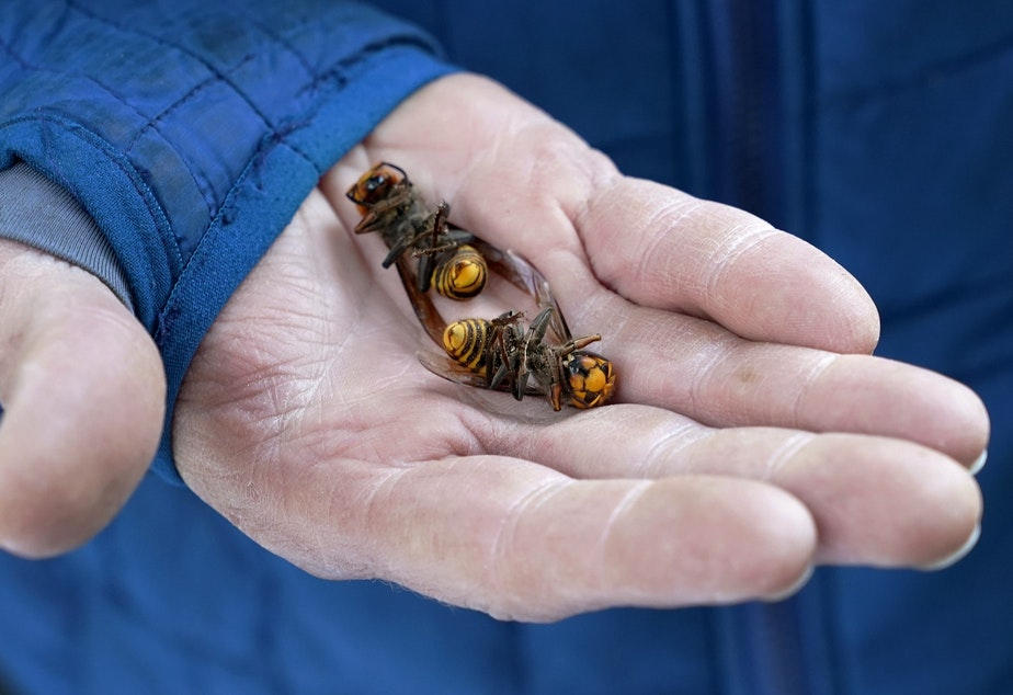 caption: A Washington State Department of Agriculture workers holds two of the dozens of Asian giant hornets vacuumed from a tree Saturday, Oct. 24, 2020, in Blaine, Wash.