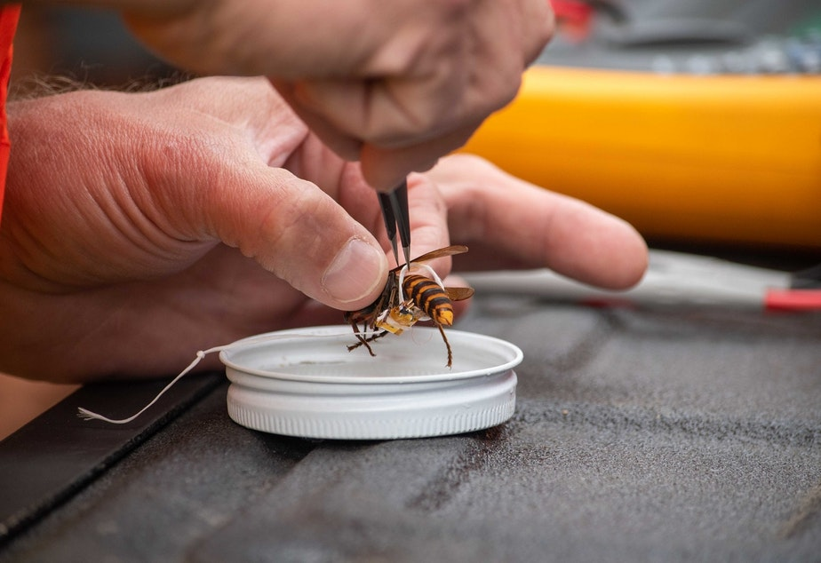 caption: A biologist tags an Asian giant hornet with dental floss and a tiny tracking device in Oct. 2020, in Blaine, Washington, just south of the Canadian border.