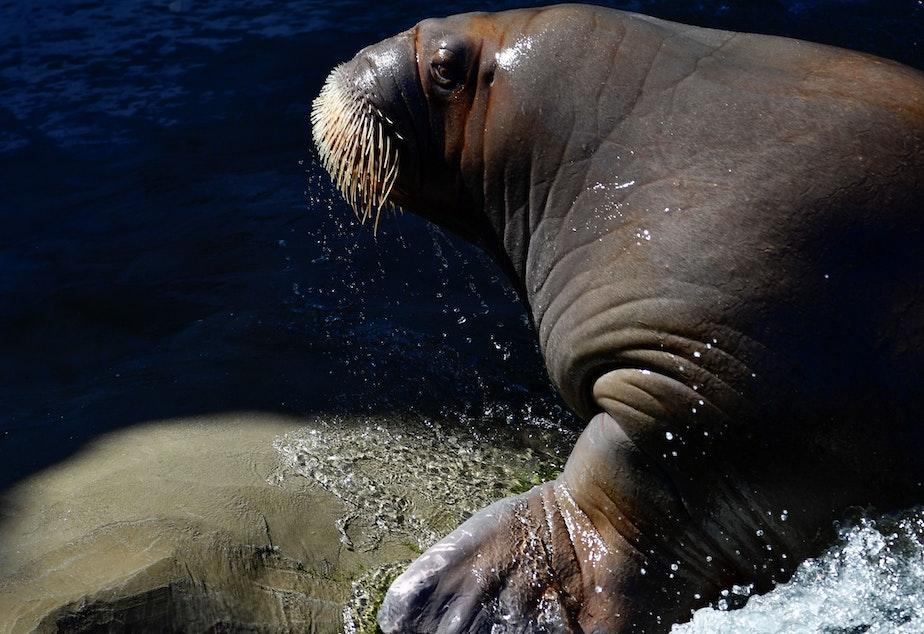 caption: A walrus pictured at the Pairi Daiza animal park in Brugelette, Belgium.