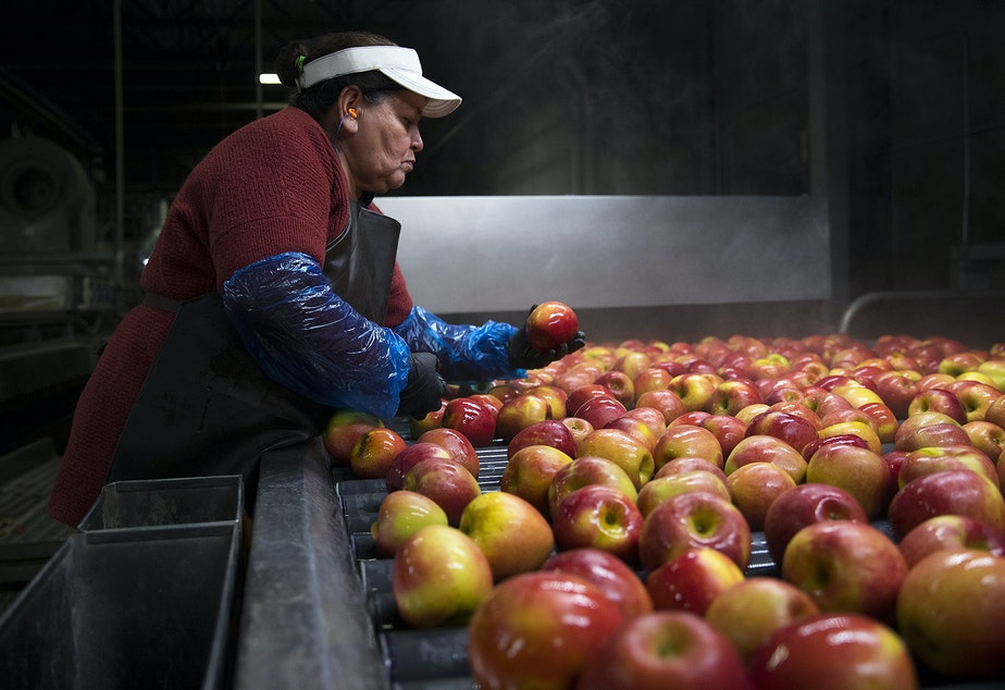 Cristina Campos removes damaged apples from the flume, the front end of the packing line, on Tuesday November, 20, 2018, at Gilbert Orchards in Yakima.