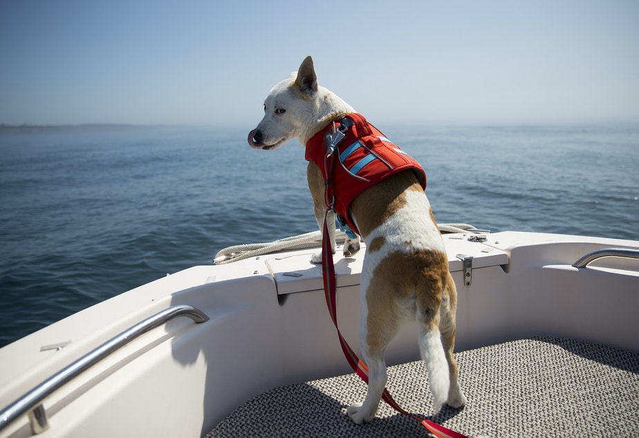 Eba, a rescue dog with a trained nose for detecting whale scat, rides on the bow of a research boat on Aug. 15, 2019, near Lime Kiln Point off San Juan Island. (Image taken under the authority of NMFS permit No. 22141)