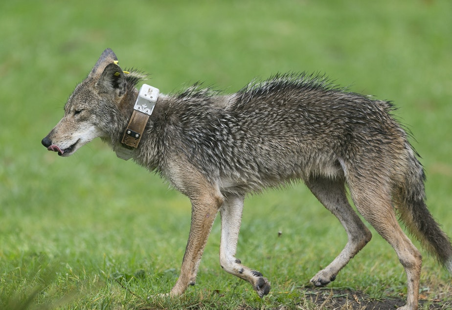 caption: A hungry wet coyote wearing a GPS radio collar roams the Elysian Park after a heavy rain Thursday, May 16, 2019, in Los Angeles. The National Park Services, NPS is monitoring the coyotes' locations to study how they survive in Los Angeles' urban environment.