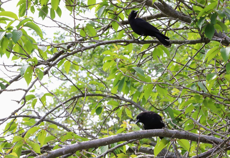 caption: Adult crows perch near a nest in Seward Park in Seattle.