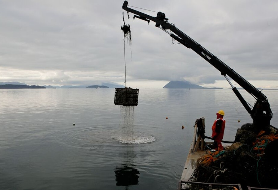 caption: Taylor Shellfish crews haul up oysters from Samish Bay, Washington. The Northwest's shellfish industry is one of the first to feel the impacts of ocean acidification.