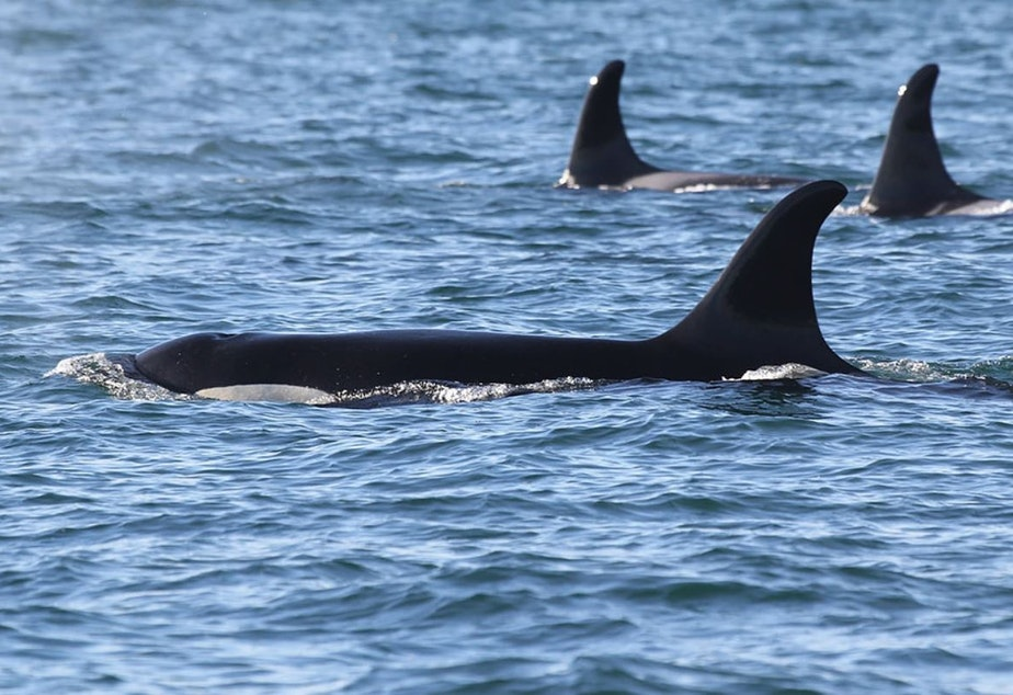 Orca J17 in Haro Strait on New Year's Eve.