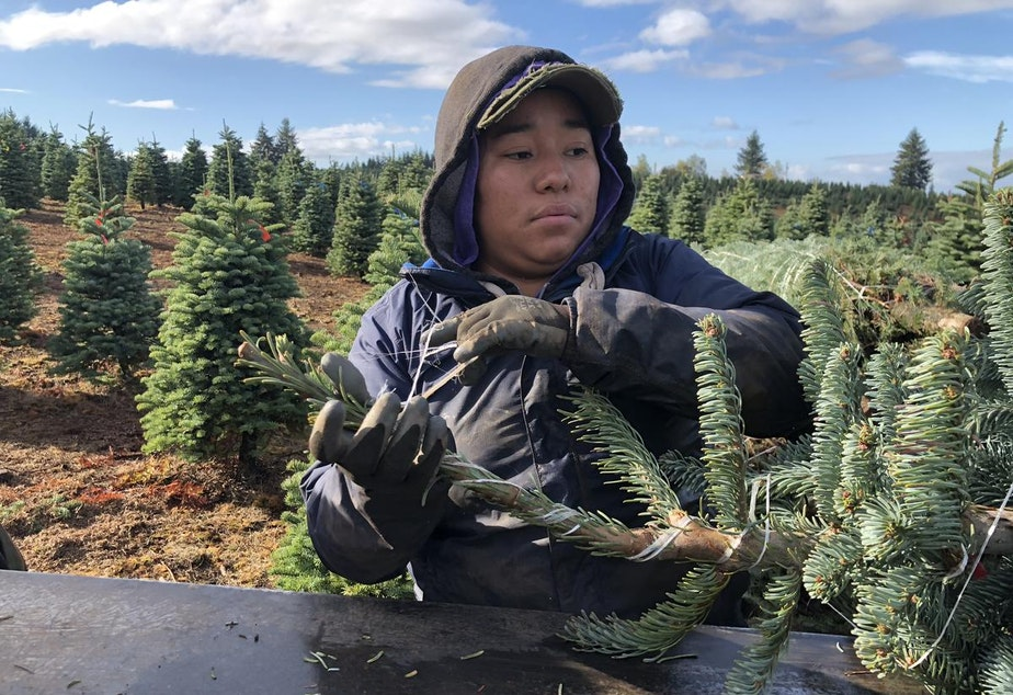 Jessica Garcia runs a baler machine at Silver Bells Tree Farm. It bundles each Christmas tree for transport to stores across the country and globe.