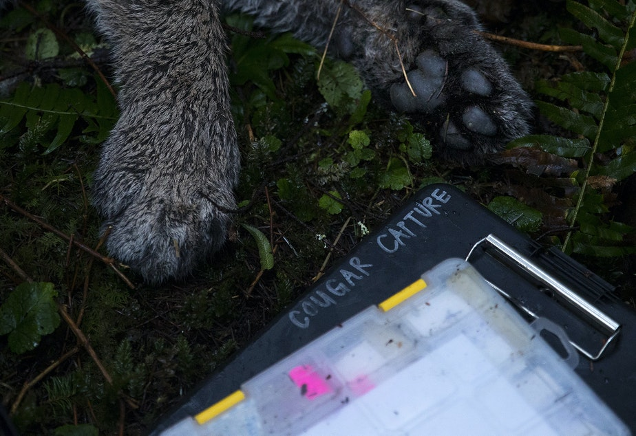 caption: The paws of Bramble, a 3-year-old female cougar are shown during a cougar capture mission on Wednesday, January 29, 2020, between the Lyre river and Sadie Creek on the Olympic Peninsula.