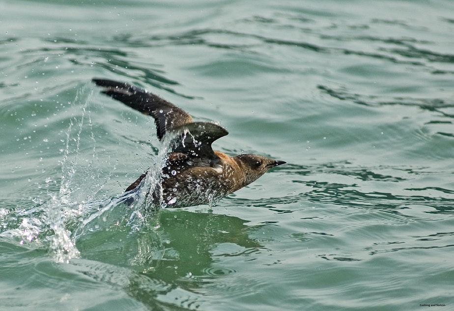 caption: The marbled murrelet, an endangered sea bird