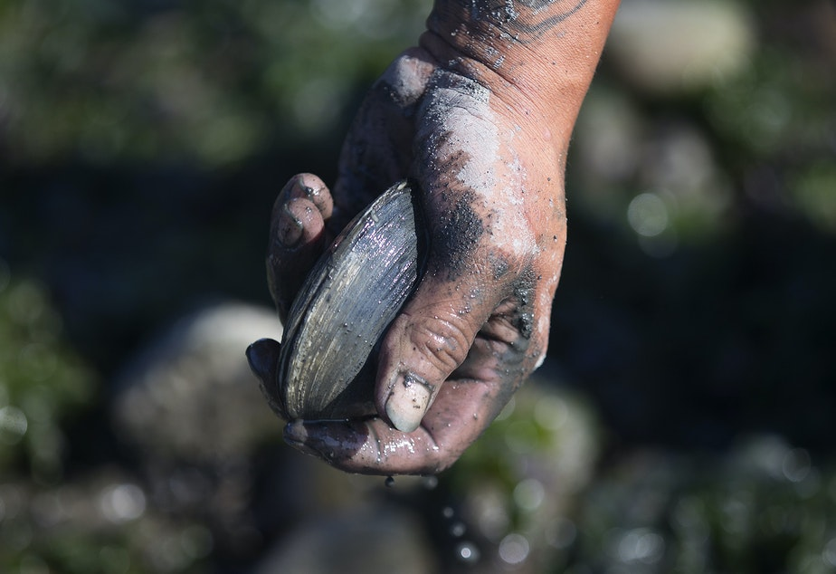 caption: Vernon Cayou throws a clam into a bucket while digging for clams that will be used primarily as bait, on Tuesday, August 27, 2019, at Ala Spit County Park.