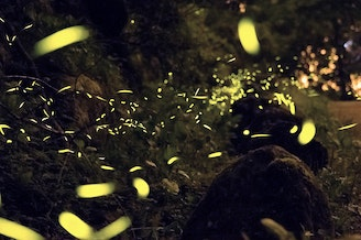 Fireflies are found in Washington but they aren't like these pictured here. The fireflies in Washington don't flash.