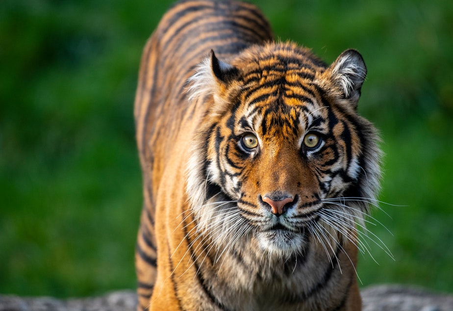 caption: Kirana is one of the three Sumatran tigers in Tacoma that will now be getting a little extra distance.