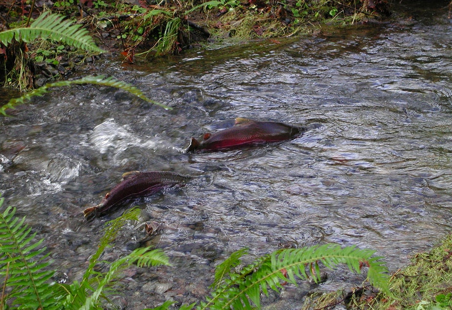 caption: Several programs in the U.S. Senate's infrastructure package include funding to improve salmon habitat.