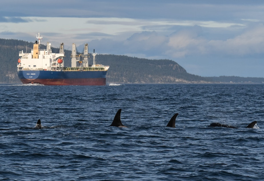 caption: A group of orcas and the cargo ship Star Minerva in Haro Strait, with Saturna Island, B.C., in the background.