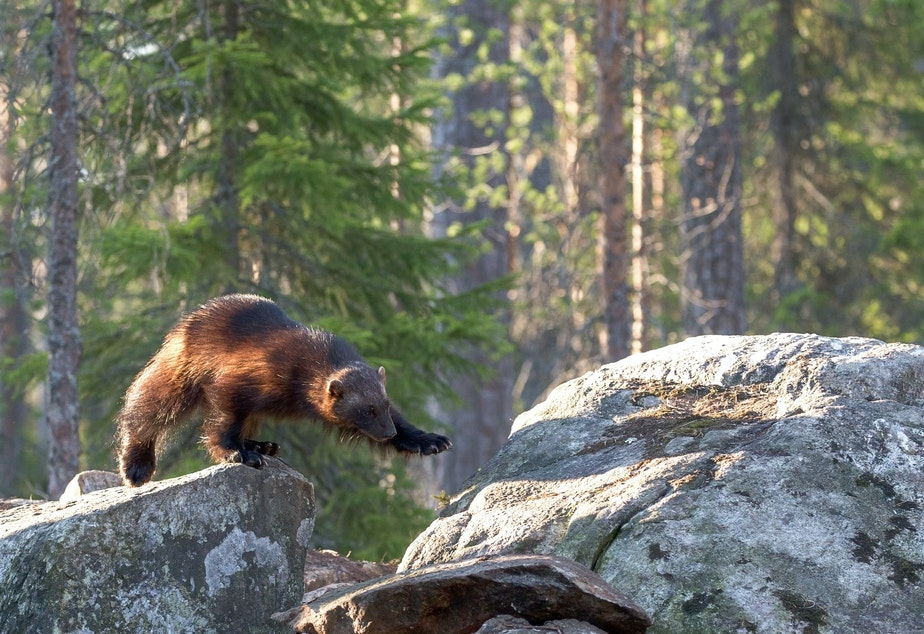 caption: Shy but tenacious, wolverines have worked their way down from British Columbia and returned to Mt Rainier after a century's absence.