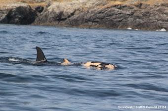J35 pushing calf. Taken near San Juan Island Island, WA on 7/27