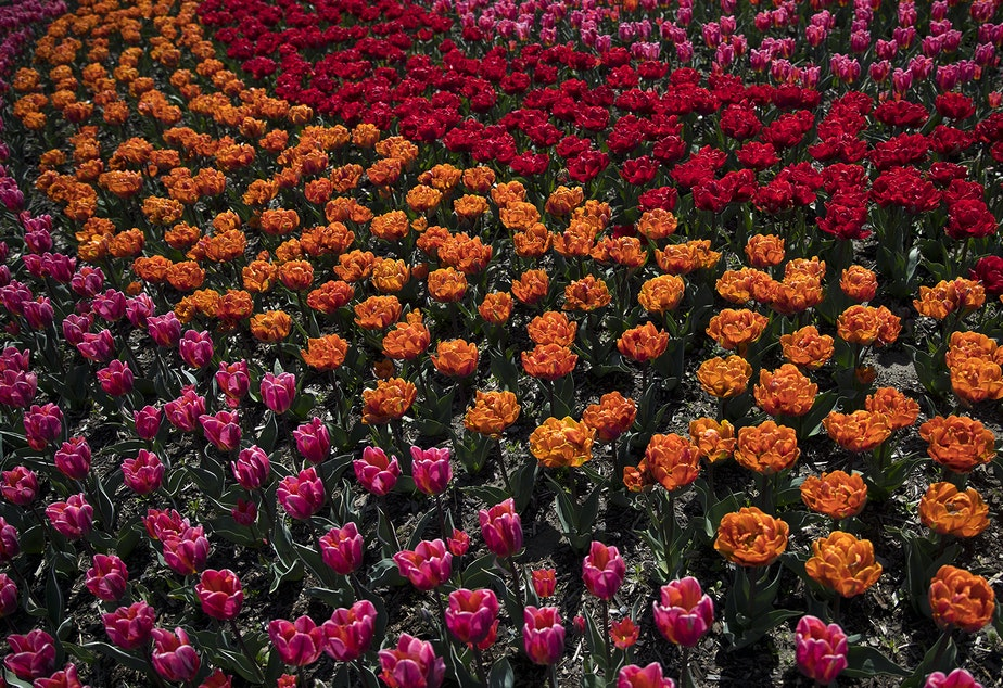 Colorful tulips are on display on Tuesday, April 24, 2018, at RoozenGaarde near Mount Vernon.